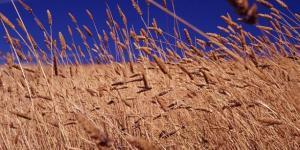 Demonstre com sua vida que ser trigo é mais humano