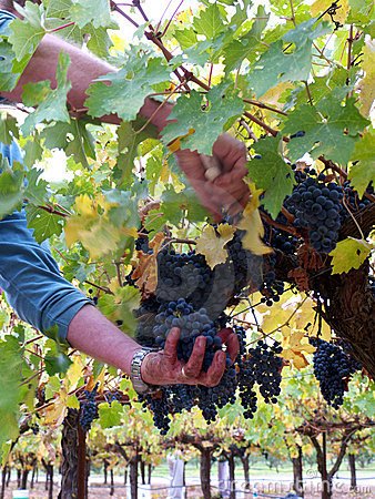 picking-grapes-wine-16862291.jpg